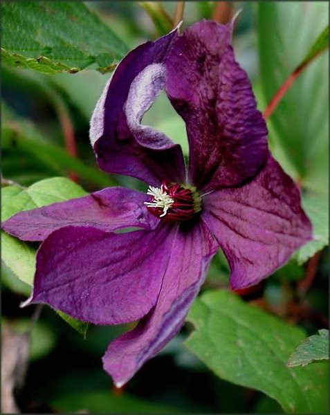 clematis clematis viticella 39 aotearoa 39. Black Bedroom Furniture Sets. Home Design Ideas