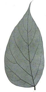 bradbury leaf