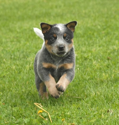 Australian Cattle Dog (Boiadeiro Australiano)