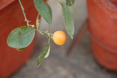 A tangerine at close up