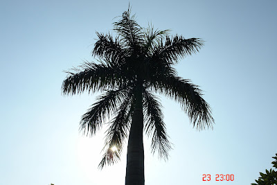 Sun shining through a coconut tree