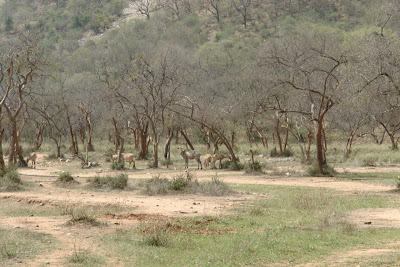 Deer in Sariska