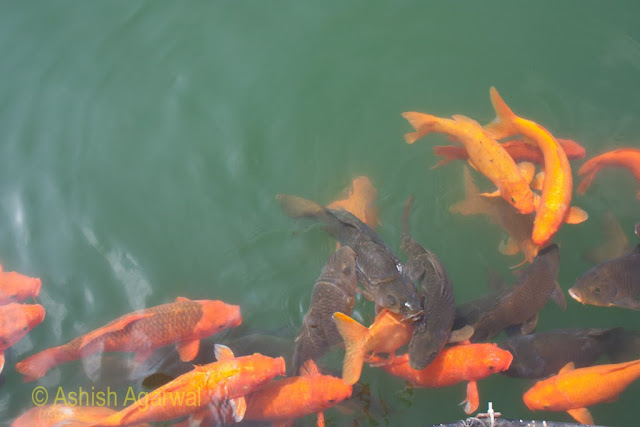 Orange and black fishes thronging the water of the sarovar of the Golden Temple in Amritsar