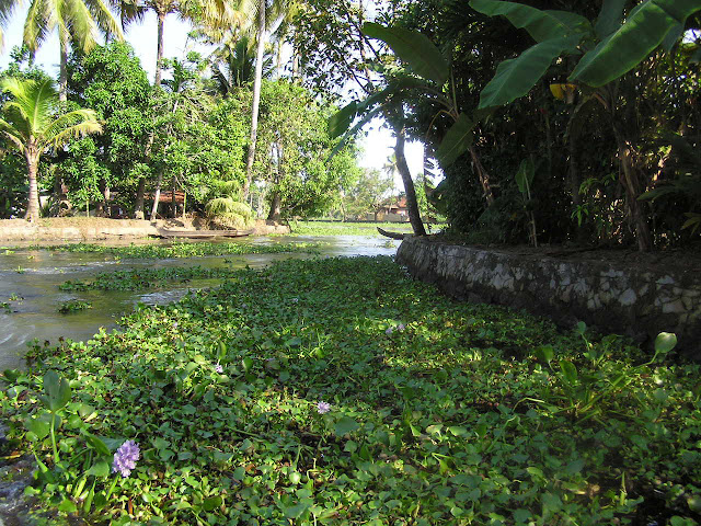 A very weed covered stretch of the waterways in Alleppey, with the canal taking a bend
