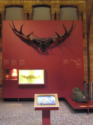 The antlers of a massive animal in Natural History Museum