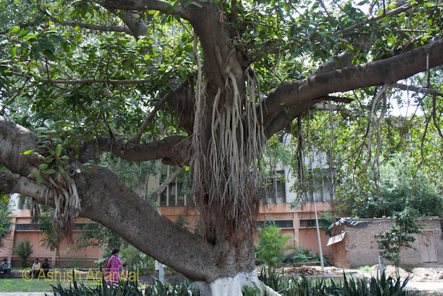 Larger views of tree with large aerial roots inside the Jallianwala Bagh in Amritsar