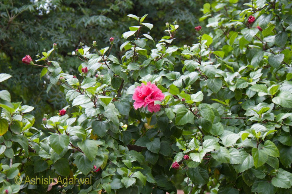 A beautiful pink flower (the
