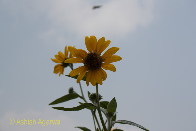 A sunflower against the blue sky, located in the Jallianwala Bagh in Amritsar