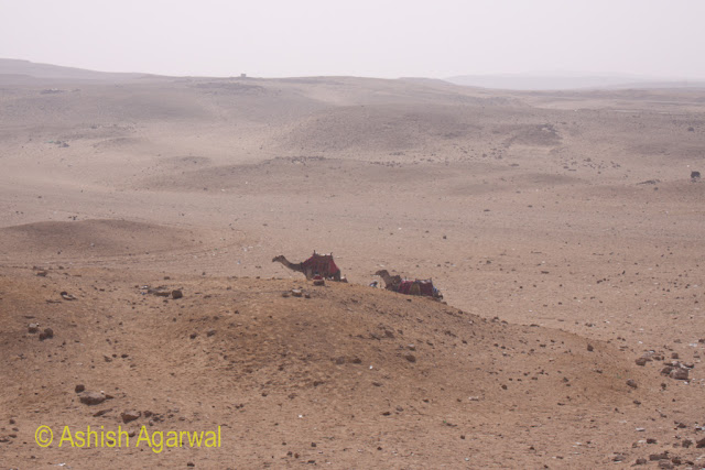 Cairo Pyramid - Camels traversing sand hillocks in a location right next to the Great Pyramids