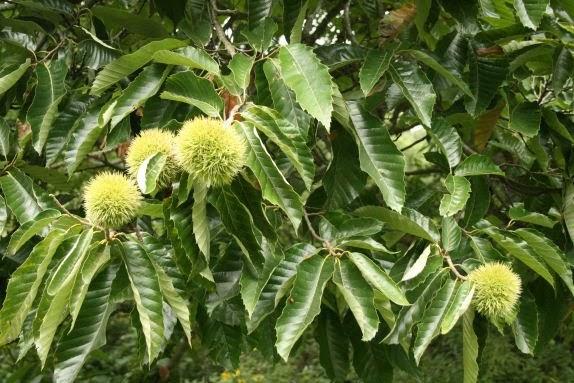 The Öko box chestnut tree