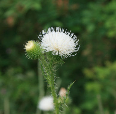 The ko box white thistle am i crazy or is there no such thing as white thistle i have only ever seen the purple thistle flowers in my life and today when i was hiking mightylinksfo