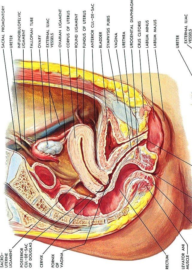 Cul de sac anatomy female