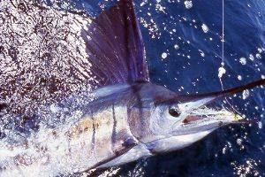 Sang Idola Ikan Berparuh ( Billfish )