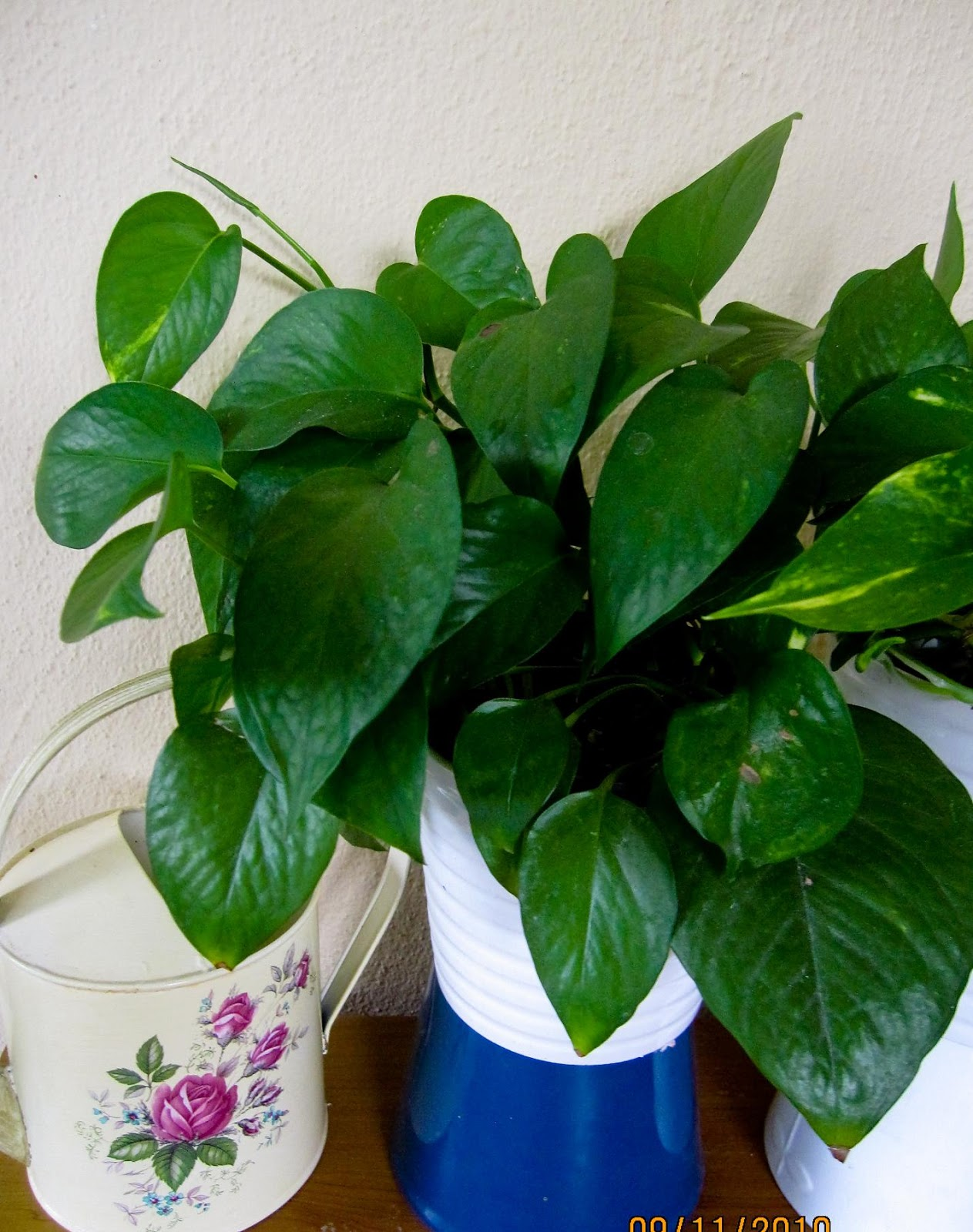 Money Plant (Scindapsus aureus) Benefits: Myth or Reality