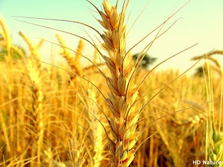 Baisakhi Harvest Wallpaper