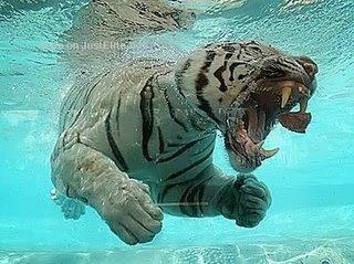 [Image: underwater-swimming-tiger.jpg]