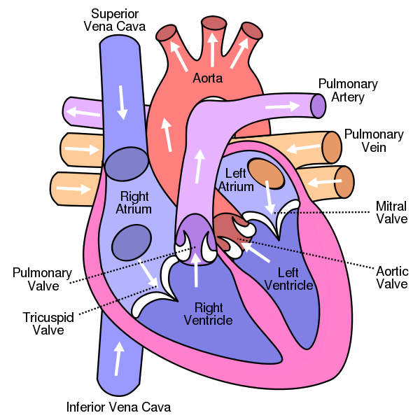 heart diagram with labels. heart diagram without labels.