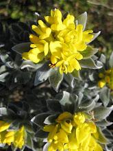 Xiphotheca fruticosa