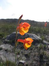 Gladiolus bonaspei