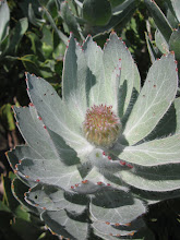 Grey leaved pincushion