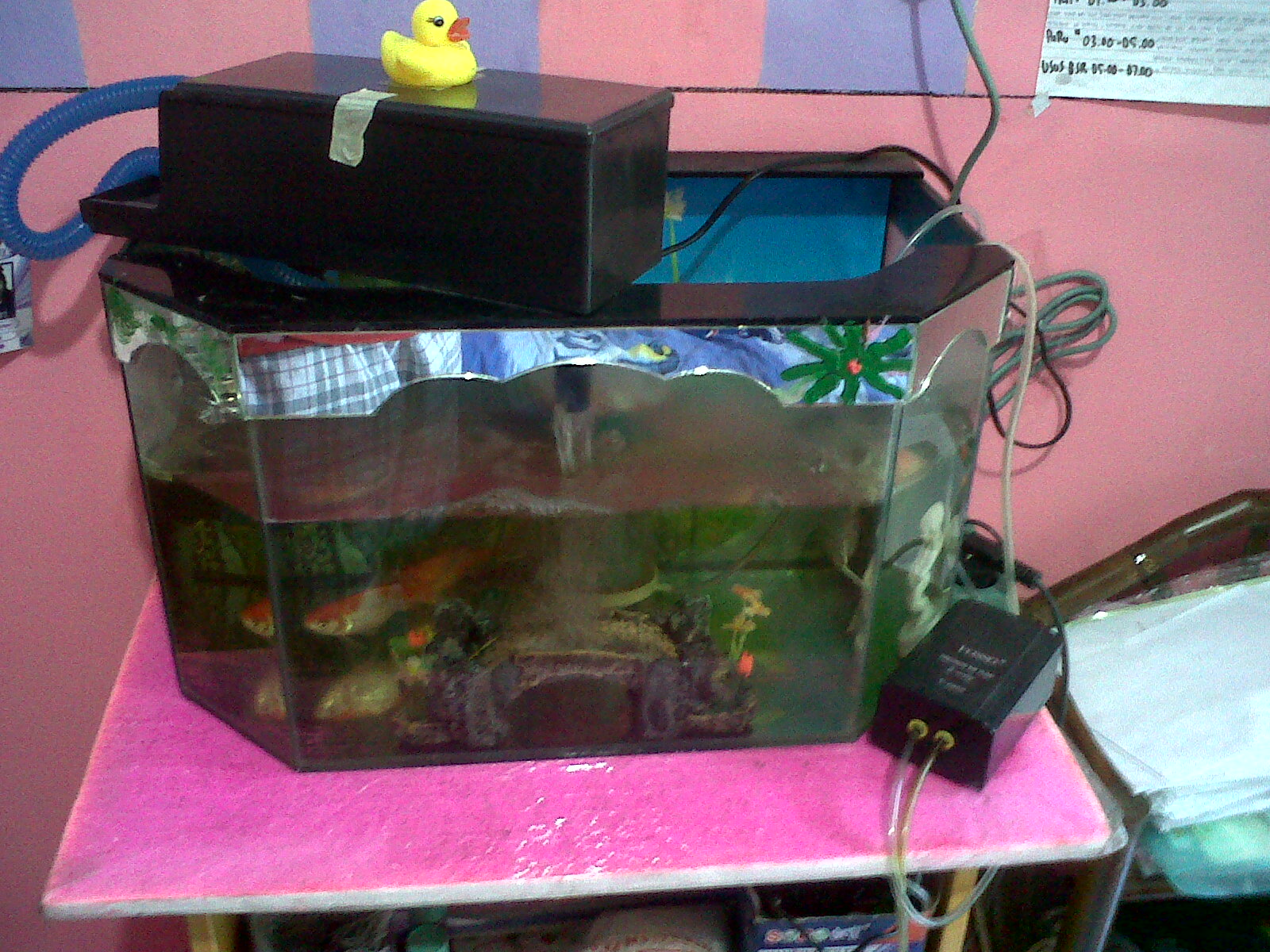 Aquarium dengan ukuran 60x75 cm, terbuat dari kaca setebal 3ml. mampu ...