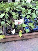 ホームセンターで家庭菜園用の苗を購入。