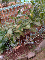 土の栄養が足りないのかネギがヤバイ。