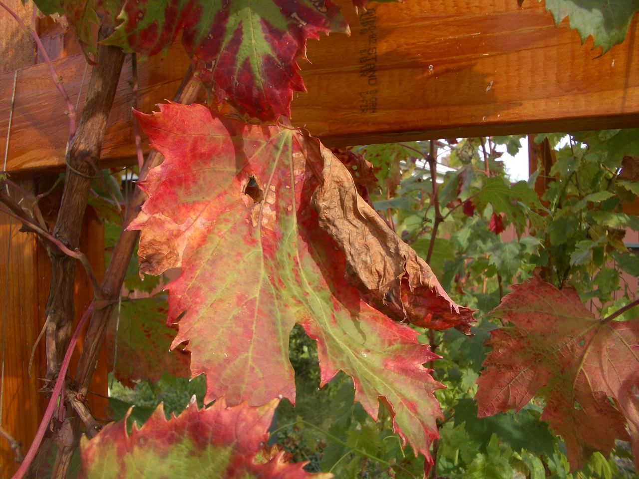 little backyard garden: interesting grape leaves