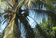 Pohon Kelapa | Lokasi: Ngrayun
