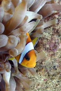احلى صور للبحر الاحمر والغطس Clownfishtg