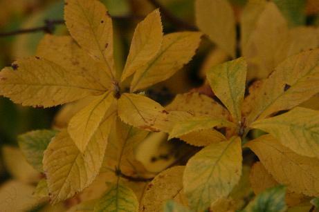 Clethra Alnifolia uk Clethra Alnifolia in Autumn