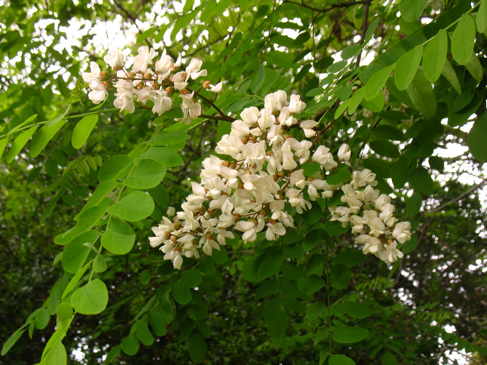 Tree Identification: Robinia pseudoacacia - Black Locust