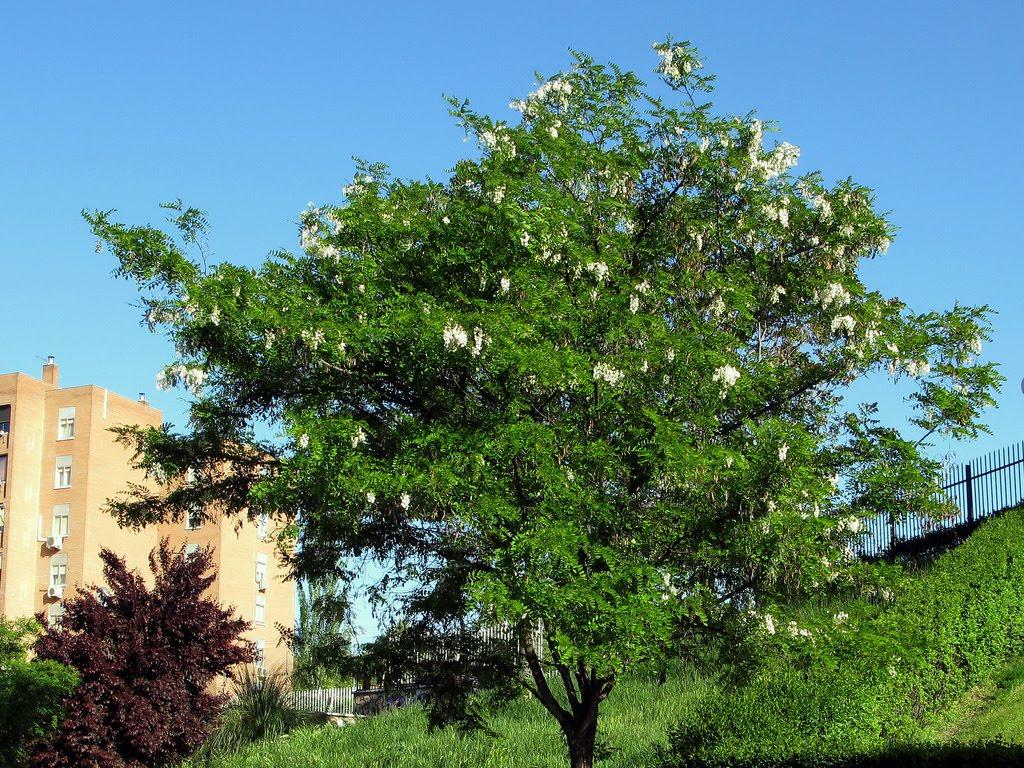 Tree Identification: Robinia pseudoacacia - Black Locust
