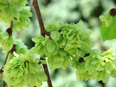 elm tree identification. Tree Identification: Ulmus