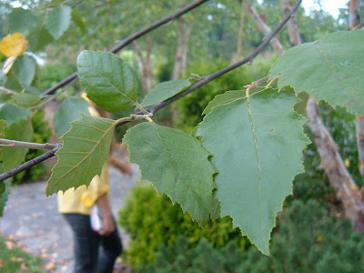 River Birch Leaf Identification http://lh2treeid.blogspot.com/2010/03/betula-nigra-river-birch.html