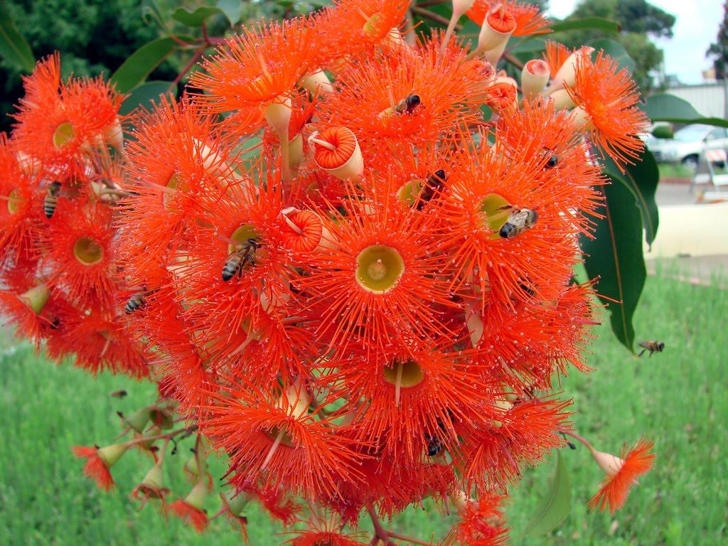 http://3.bp.blogspot.com/_8fdAjWGnOxY/S7E8HHgr1eI/AAAAAAAAAWg/jfUuwwACGPI/s1600/Eucalyptus+ficifolia+flowers.jpg
