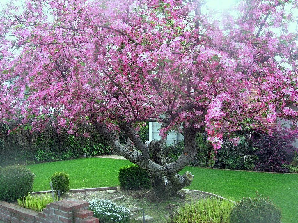 Tree identification malus floribunda japanese flowering for Crabapple tree