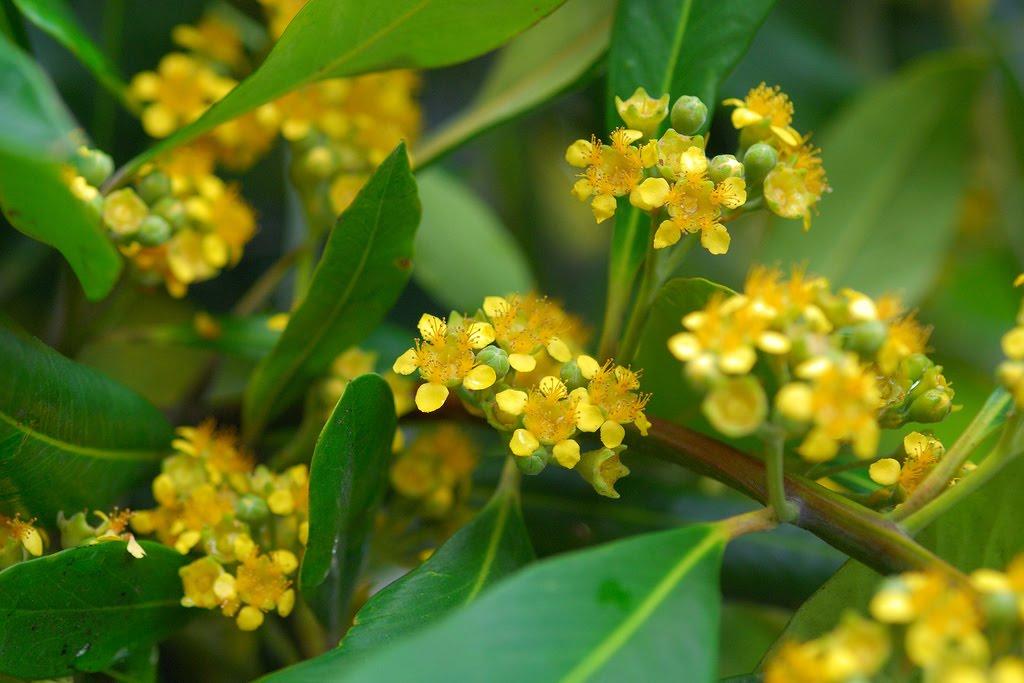 Tree identification tristaniopsis laurina water gum tree identification mightylinksfo