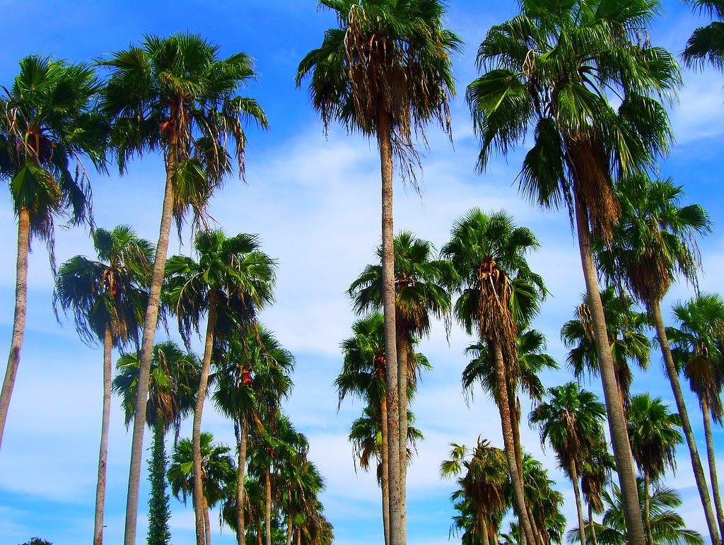 tree identification washingtonia robusta mexican fan palm. Black Bedroom Furniture Sets. Home Design Ideas