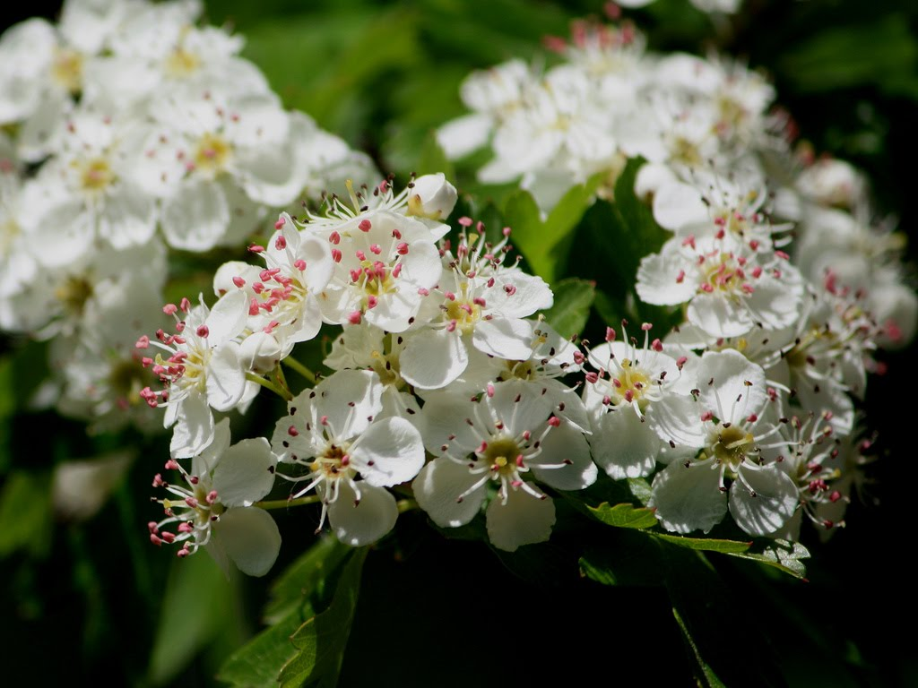 Tree identification crataegus laevigata english hawthorn tree identification mightylinksfo