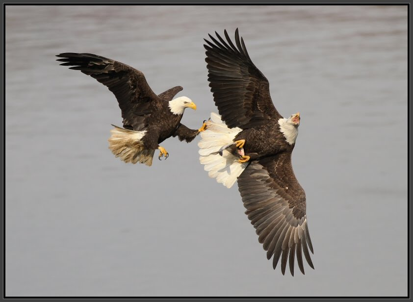 Bald Eagles at Conowingo Dam, Maryland