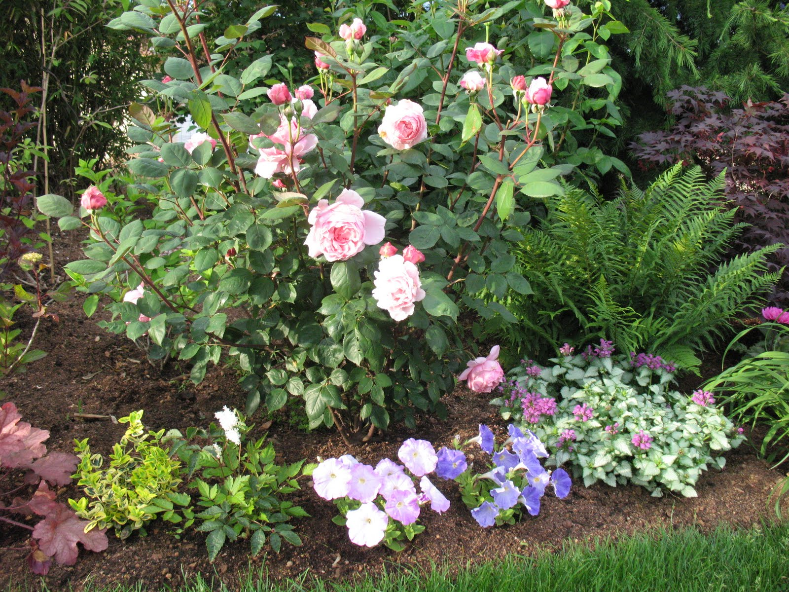 Roses du jardin ch neland acer palmatun bloodgood for Decoration jardin rosier