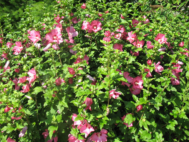 Roses Du Jardin Ch Neland Hibiscus Syriacus Pink Giant
