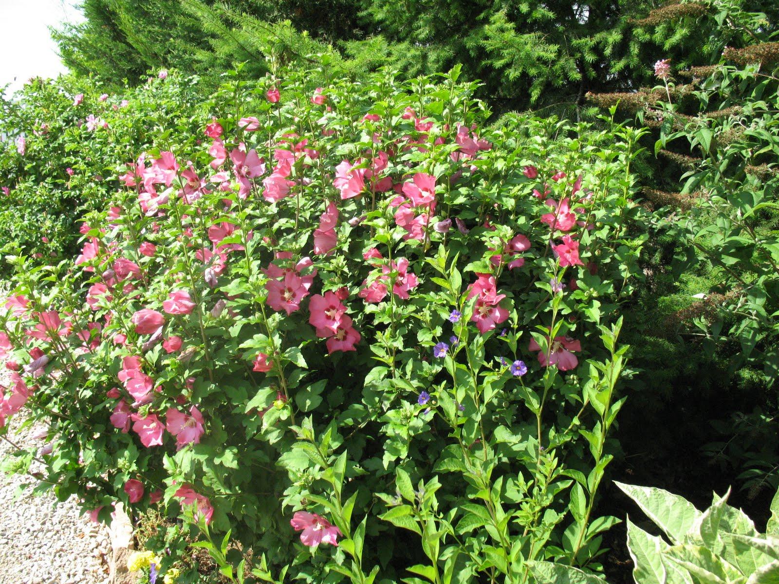 roses du jardin ch neland hibiscus syriacus pink giant. Black Bedroom Furniture Sets. Home Design Ideas