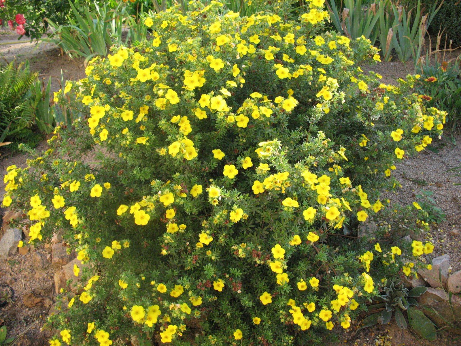 Этот кустарник с густой компактной кроной не боится ни зимних морозов, ни летней засухи и цветет с июня до...