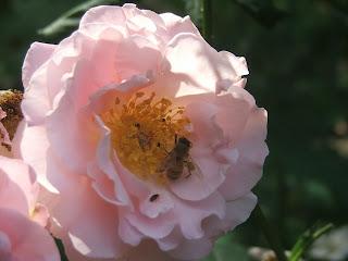 Rose Fritz Nobis