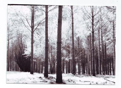 Bosque blanco Bosque+blanco+y+negro