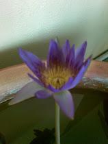 最近种的睡莲