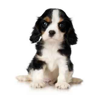 Cachorro Cavalier Spaniel