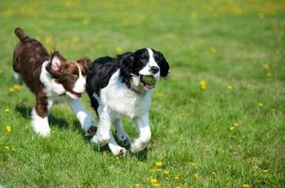 perro Springer Spaniel Ingles